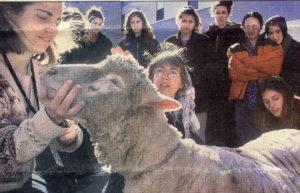 11th & 12th graders calming sheep/shearing